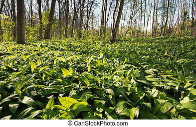 ramson field in the forest - fresh and ripe ramsons in...