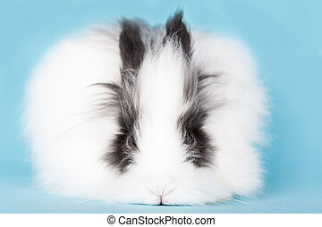 long-haired rabbit decorative on blue background