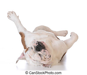 itchy dog - bulldog laying upside down looking at viewer on...