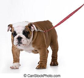dog wearing leash - cute bulldog puppy wearing leash and...