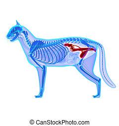 Felis,  Catus, 泌尿生殖器,  -, 系統, 被隔离, 解剖學, 白色, 貓