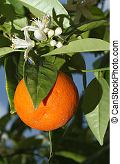 Ripe tangerines and flower on a tree vertical