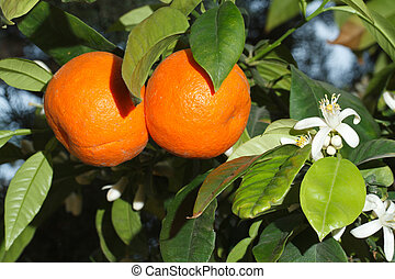 Ripe tangerines and flowers on a tree branch close-up