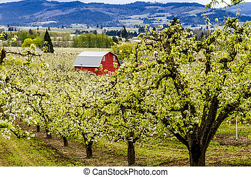 Red Barn in Oregon Pear Orchards