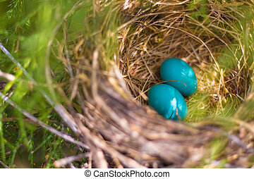 Two Blue Eggs in Nest - Two robbin eggs in a nest.
