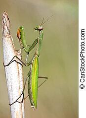 Mantis religiosa - Portrait of a Mantis religiosa on a straw