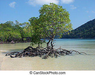 mangrove trees in bay - mangrove trees in the ocean\'s bay...