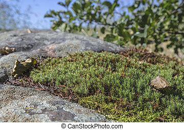 Sphagnum moss growing on the rocks on a sunny day against...