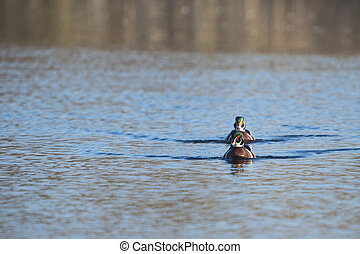Wood Duck pair - Pair of Wood Duck males advance in line