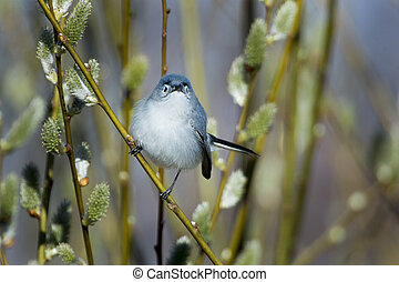 Blue-gray Gnatcatcher pauses while foraging in shrubs