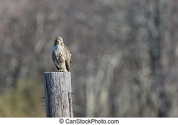 Red-tailed Hawk perches atop old telephone pole