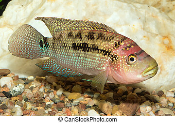 Cichlid fish - Aquarium cichlid fish from the genus Rocio