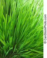 Wheat grass - Close up of the fresh wheat grass sprouts