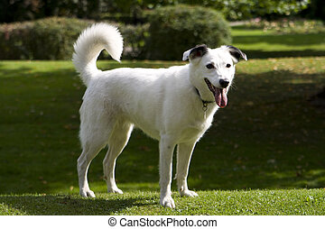 Bright eyed white dog looking attentive on grass background.
