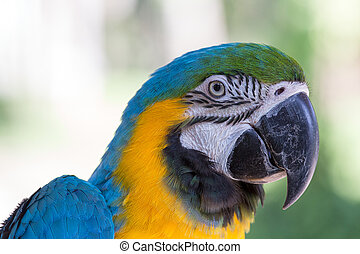 Blue and Yellow Macaw Parrot in Bali Bird Park,, Indonesia -...
