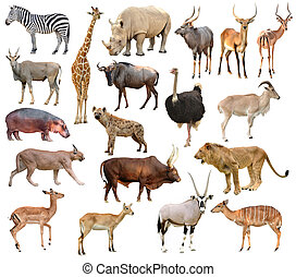 africa animals - collection of africa animals isolated on...