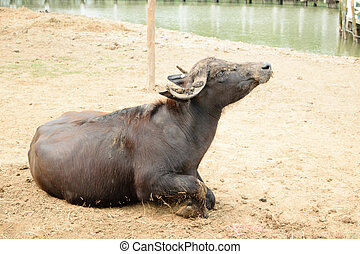 Murrah buffalo in farm