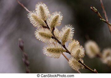 Pussy Willow - Natural scenery of a Pussy Willow tree