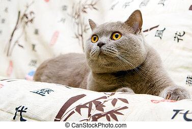 Surprise! - closeup british cat with orange eyes staring at...