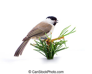 Willow tit Parus montanus on a white background - all known...