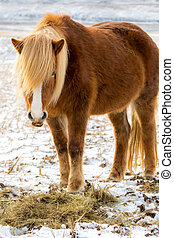 Icelandic horses in the fields of Iceland