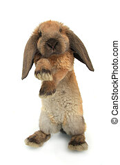 standing rabbit on a white background