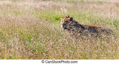 Gräs, bakgrund, ung, lejoninna, savann
