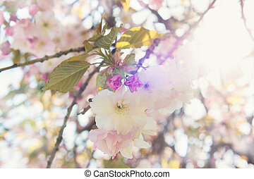 Branch of Japanese cherry in bloom, with sunflare
