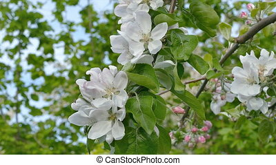 Blossoming apple tree flowers - Closeup of blossoming apple...