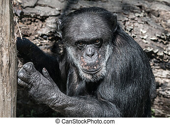 Chimpanzee caught in the act - Expressive picture of an old...