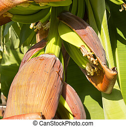 Banana Plantation - Banana trees in a banana plantation in...