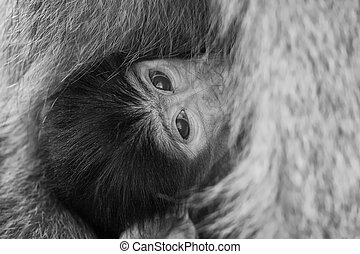 Baby baboon hiding in body of mother for safety - Baby...
