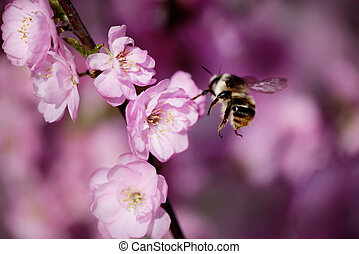 bee on a japanese cherry, spring is coming