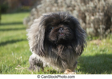 Pekingese dog portrait