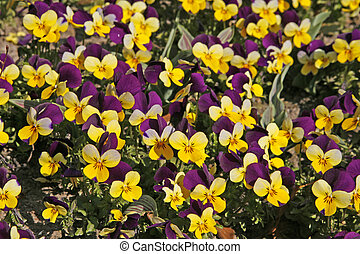 Horned Violet, Horned Pansy, Viola cornuta Four Seasons...