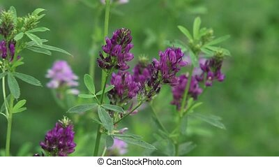 Medicago sativa, lucerne - medium - Medicago sativa,...