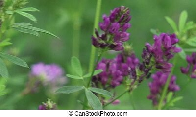 Medicago sativa, lucerne in bloom - Medicago sativa,...