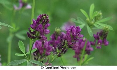 Medicago sativa, alfalfa zoom out - Medicago sativa,...