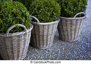 Boxwood in pot and wicker basket on a terrace