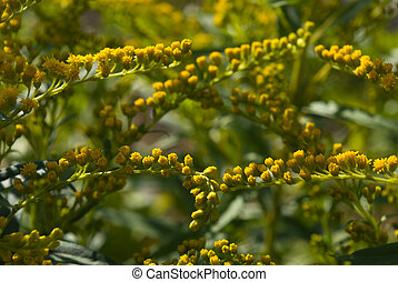 Goldenrod - Close-up of Goldenrod stalks with flowers