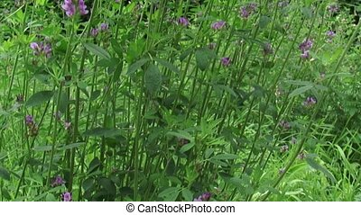 Medicago sativa, alfalfa tilt up do - Medicago sativa,...