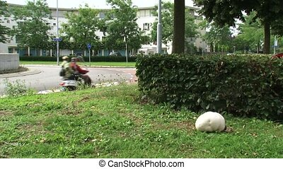 Giant puffball - roadside - Giant puffball (Calvatia...
