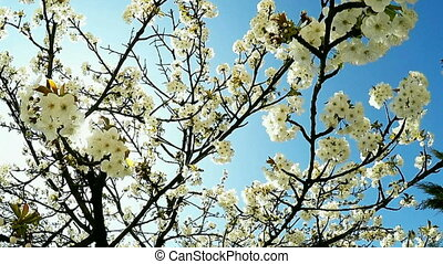 Blossoming cherry branches - Cherry Blossoms in the spring,...