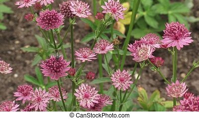 Great masterwort insect - Great masterwort Astrantia maxima...