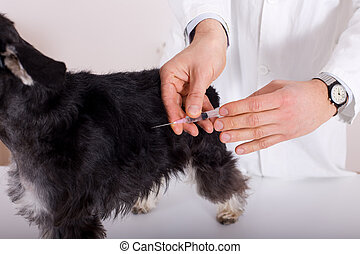 Dog vaccination - Close up of human hands giving injection...