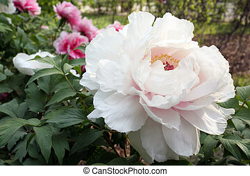 Giant peony - Details of a species of giant peony in garden.