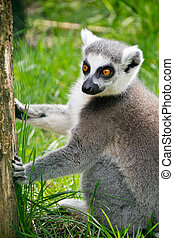ring-tailed lemur - a portrait of ring-tailed lemur in zoo