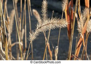 ear of wheat in detail
