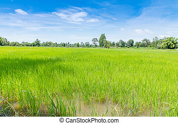 Landscape of Thai rice field under blue sky and clound