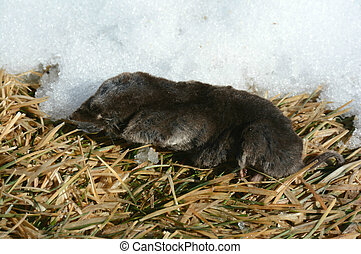 Short-Tail Shrew - Winter closeup of a short-tail shrew,...